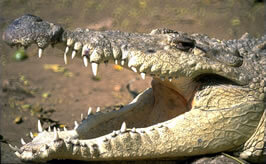 Crocodile tears  - the meaning and origin of this phrase d63fa0aa1ae05
