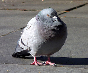 The phrase 'Pigeon-chested' - meaning and origin.