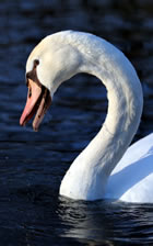 Swan song' - the meaning and origin of this phrase